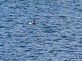 Black-necked Grebe (35602285266).jpg