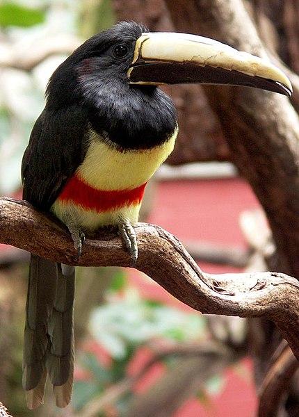 Ficheiro:Black-necked aracari.jpg