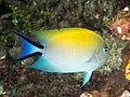 Black-spot angelfish (Genicanthus melanospilos) (48565539761).jpg