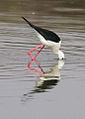 Black-winged Stilt, Common Stilt, or Pied Stilt, Himantopus himantopus at Borakalalo National Park, South Africa (9937645986).jpg