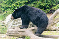 Black Bear on a Log (14208514320).jpg