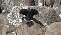 Black Currawong (Strepera fuliginosa) (31043241390).jpg