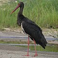 Black Stork (199824343).jpeg