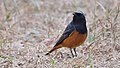 Black redstart at IIT Delhi.jpg