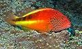 Blackside Hawkfish (Paracirrhites forsteri) (6056321818).jpg