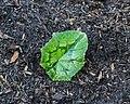 Blad van Cyclaam hederifolium.JPG