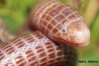 Iberian worm lizard - Macro photography of the head