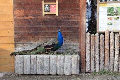 Blauer Pfau (Pavo cristatus) Zoo Salzburg 2014 a.jpg