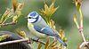 Blaumeise, blue tit, bird, Parus caeruleus.jpg