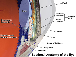 Ciliary body part of an eye