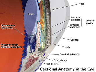 "Zonule of Zinn - Anatomy of the anterior part of the human eye. ""Suspensory ligaments"" are labeled at left."