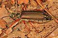 Blister Beetle - Lytta aenea, Leesylvania State Park, Woodbridge, Virginia - 23243718931.jpg