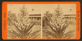 Blossom from the Spanish bayonet, from Robert N. Dennis collection of stereoscopic views.png