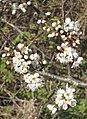 Blossom of Blackthorn (Prunus spinosa) - geograph.org.uk - 1241897.jpg