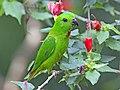 Blue-crowned Hanging-Parrot (Loriculus galgulus) (8730185343).jpg