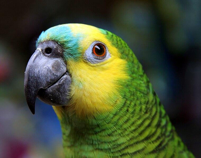 File:Blue-fronted Amazon (Amazona aestiva)-head-8.jpg