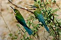 Blue-tailed Bee-eaters Merops philippinus by Dr. Raju Kasambe DSCN7278 (4) 01.jpg