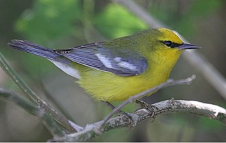 Blue-winged warbler - South Padre Island - Texas