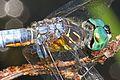 Blue Dasher - Pachydiplax longipennis, Meadowood Farm SRMA, Mason Neck, Virginia - 14426138795.jpg