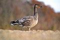 Blue Morph Snow Goose (Chen caerulescens) (15681085056).jpg