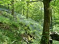 Bluebell Woods. - geograph.org.uk - 356361.jpg