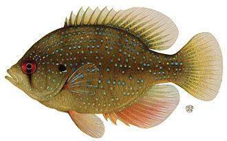 Enneacanthus - Blue-spotted sunfish (Enneacanthus gloriosus)