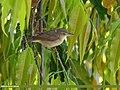 Blyth's Reed Warbler (Acrocephalus dumetorum) (30336576067).jpg