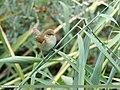 Blyth's Reed Warbler (Acrocephalus dumetorum) (32689618208).jpg