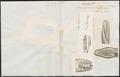 Boa murina - 1700-1880 - Print - Iconographia Zoologica - Special Collections University of Amsterdam - UBA01 IZ11900044.tif