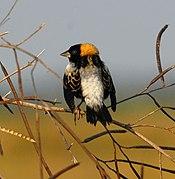 Bobolink Woodruff-järvellä (Dolichonyx oryzivorus) - Flickr - Andrea Westmoreland.jpg