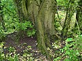 Bole of ancient Ulmus laevis in hedgerow near Over Wallop, England.jpg