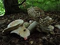 Boletus edulis (4) (37628489444).jpg