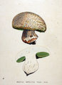 Boletus implitus — Flora Batava — Volume v19.jpg