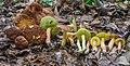 Boletus rubropunctus (Peck) Singer 550957.jpg