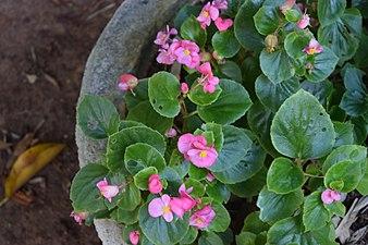 Bonsai Garden Lal Bag Bangalore DSC 6363.jpg