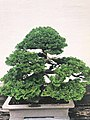 Bonsai Tree 4.jpg