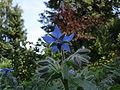 Borago officinalis 2.jpg