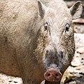 Bornean Bearded Pig (14134089736).jpg