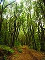 Bosque de Laurisilva.jpg