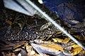 Bothrops leucurus Instituto Butantã (2).jpg