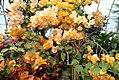 Bougainvillea x buttiana Enid Lancaster 1zz.jpg