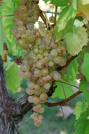 Folle blanche - Gouais blanc, one of the parent varieties of Folle blanche.