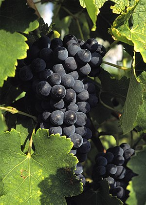 Béquignol noir - Béquignol noir is often confused with the Southwest France wine grape Fer (pictured).