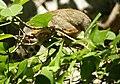 Brazilian Squirrel monkey- Bonnet House, Fort Lauderdale, Florida (4233828896).jpg