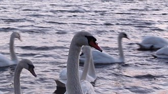 Donabate - Mute Swans in the Broadmeadow estuary Donabate