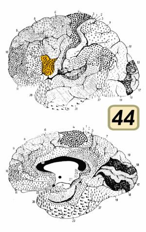Brodmann area 44 - Image: Brodmann Cytoarchitectonics 44
