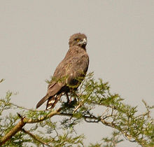 Brown Snake-eagle murchison dec05.jpg