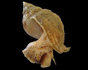 Wellhornschnecke (Buccinum undatum)