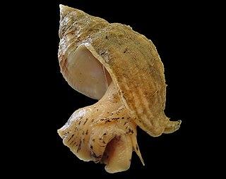 <i>Buccinum</i> Genus of gastropods