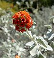 Buddleia marrubifolia flowers 2.jpg